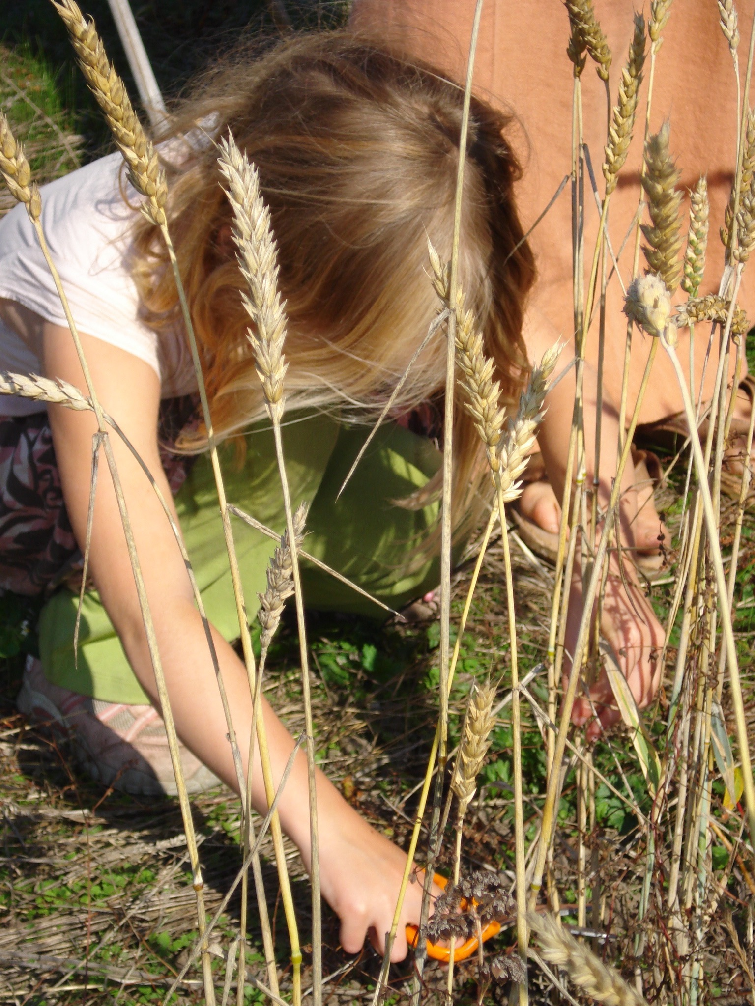 Harvesting wheat with kiddie scissors